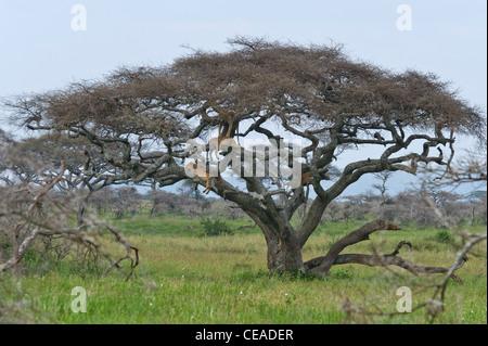 Group of lions Panthera leo resting in a Acacia tree at Seronera in Serengeti, Tanzania - Stock Photo