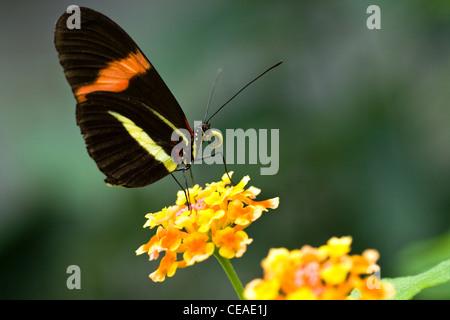 Tropical The Postman butterfly or Heliconius Melpomene Amaryllis on Spanish Flag or Lantana Camara flowers - Stock Photo