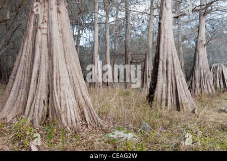Solid, giant  trunk of Bald Cypress tree, Taxodium distichum near Santa Fe river, Florida, United States, USA, North - Stock Photo