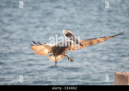Brown Pelican, Pelecanus occidentalis, flying, Florida, North America, USA - Stock Photo