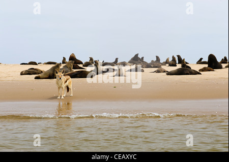 A black-backed jackal scavenging between  a colony of Cape Fur Seals on the beach of Pelican Point. Walvis Bay, - Stock Photo