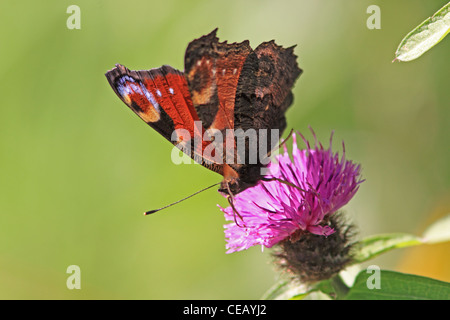 Peacock ( Inachis io ) Butterfly on wild flower of Common Knapweed ( Centaurea nigra ) - Stock Photo
