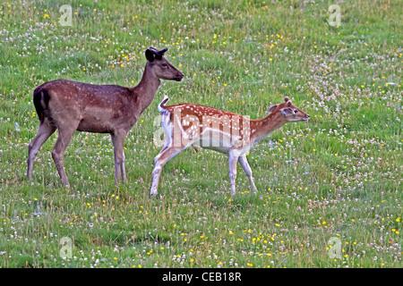 Young, Fallow Deer ( dama dama ) Bucks, in meadow - Stock Photo