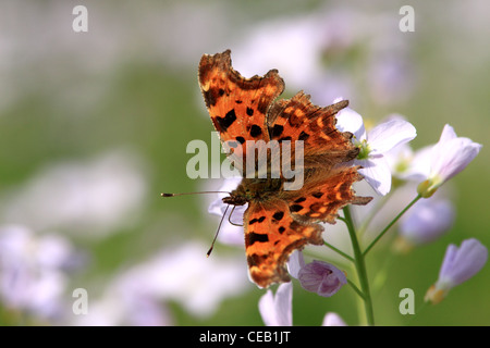 Comma ( Polygonia c-album ) butterfly on Lady's Smock ( Cruciferae or Brassicaccae ) wild flower - Stock Photo