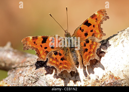 Comma ( Polygonia c-album ) butterfly - Stock Photo