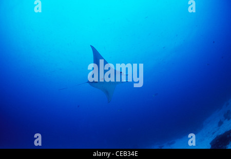 Giant Manta ray underwater in German Channel, Palau, Micronesia - Stock Photo