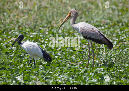 Sacred Ibis (Threskiornis aethiopicus), left, immature Yellow-billed Stork (Ibis ibis), right, standing amongst - Stock Photo
