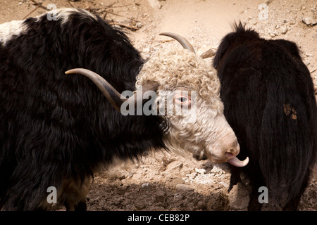 India, Arunachal Pradesh, yaks Bos Grunniens foraging for sparse grazing on road construction site - Stock Photo