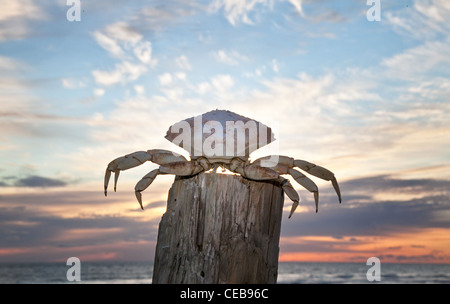 Crab shell on post against colorful sunrise sky - Stock Photo