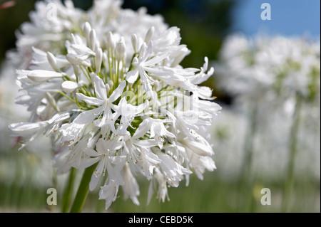 Flowering white Agapanthus