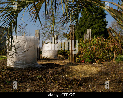 Winter protection for banana palms at RHS Hyde Hall Essex - Stock Photo