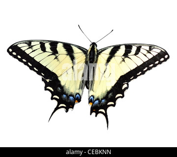 Eastern Tiger Swallowtail Butterfly on white - Stock Photo
