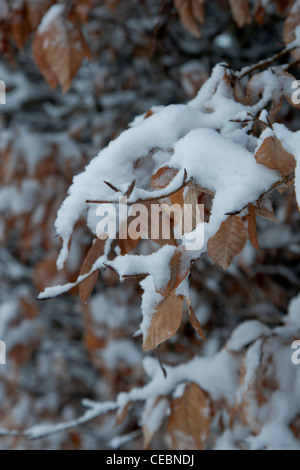 Snow has fallen and settled on a hedgerow with dry autumn coloured leaves. - Stock Photo