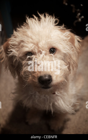 Puppy Labradoodle looking up at camera - Stock Photo