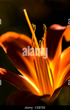 Orange daylily flower glowing in the summer evening sun - Stock Photo