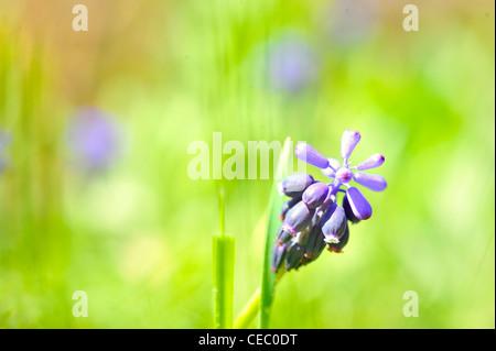 grape hyacinth or 'muscari armeniacum' with shallow dof in spring garden - Stock Photo