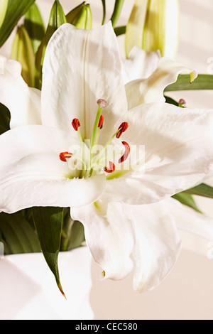 white lily (Lilium candidum madonna lily) - Stock Photo
