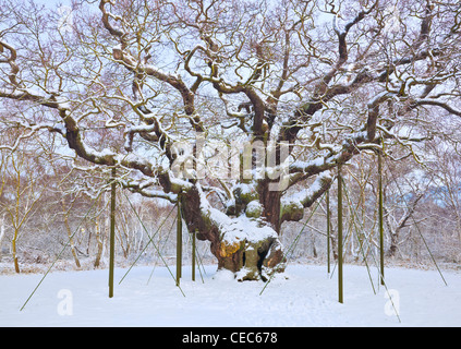 the major oak tree in the fresh snow sherwood forest country park edwinstowe nottinghamshire england uk gb eu europe - Stock Photo