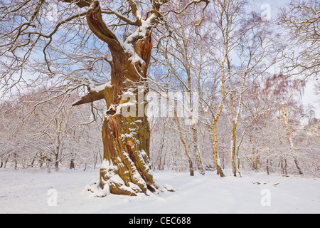 oak tree in the fresh snow sherwood forest country park edwinstowe nottinghamshire england uk gb eu europe - Stock Photo