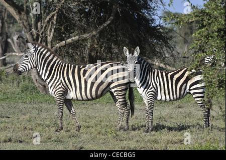 Wild zebras in Africa. Serengeti. - Stock Photo