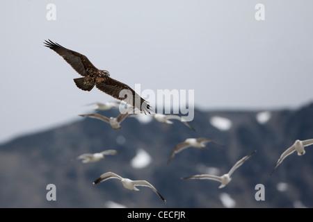 Black-chested Buzzard-Eagle (Geranoaetus melanoleucus australis), immature plumage in flight - Stock Photo