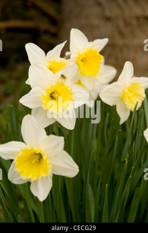 Bright colourful group of yellow white seasonal spring flowers (beautiful flowering daffodils or narcissi) in garden - Stock Photo