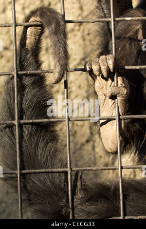 The tail and foot of a spider monkey clinging onto its cage. - Stock Photo