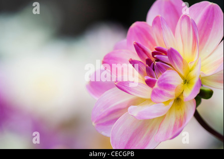 Dahlia 'Oriental Dream' flower. Waterlily Dahlia. - Stock Photo
