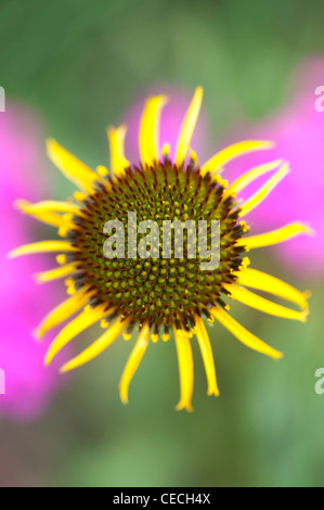 Echinacea paradoxa . Yellow Coneflower - Stock Photo