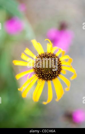 Echinacea paradoxa . Yellow Coneflower - Stock Photo