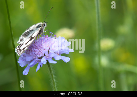 Melanargia galathea. Marbled white butterfly on field scabious flower in the english countryside - Stock Photo