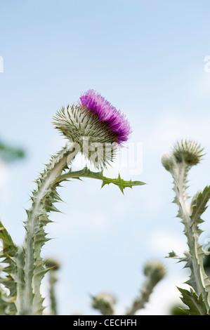 Onopordum acanthium . Cotton Thistle - Stock Photo