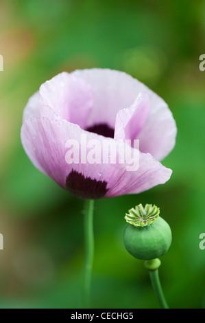 Papaver somniferum poppy in an english garden - Stock Photo