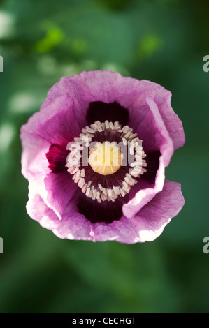 Papaver somniferum poppy in an english garden - Stock Photo