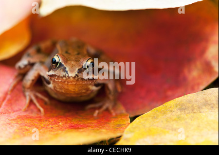 Common garden Frog 'Rana Temporaria' sitting under colourful autumn tree leaves - Stock Photo