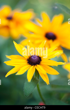 Rudbeckia hirta 'Toto Gold' flower - Stock Photo