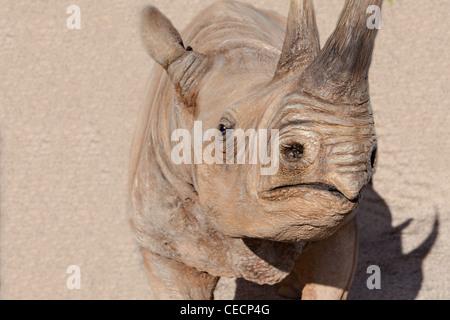 Rhinoceros close up - Stock Photo
