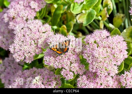 Small tortoishell butterfly on pink sedum flowers - Stock Photo