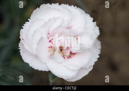 Dianthus Cranmere Pool - Stock Photo