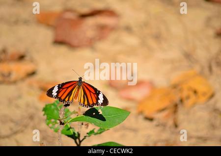 Danaus genutia/The Striped Tiger (Common Tiger) butterfly - Stock Photo