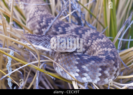 Northern Black-tailed Rattlesnake, (Crotalus molossus molossus), Sandia Mountains, Bernalillio county, New Mexico, - Stock Photo