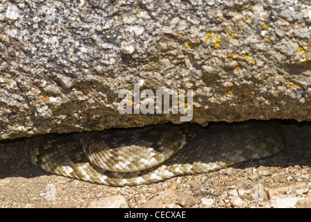Northern Black-tailed Rattlesnake, (Crotalus molossus molussus), Sandia Mountains, Bernalillio county, New Mexico, - Stock Photo