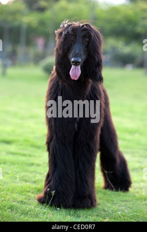 Black afghan hound dog standing on the lawn - Stock Photo