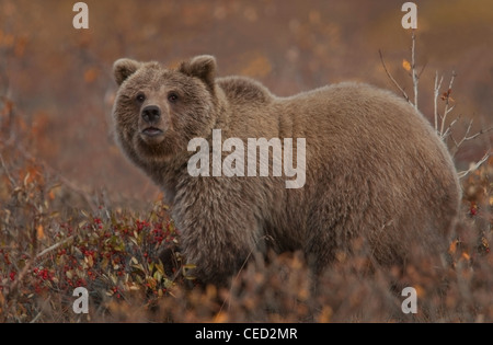 Grizzly Bear (Ursus arctos) pauses while grazing in favored soap berries, a staple in the bear's autumn diet, Denali - Stock Photo