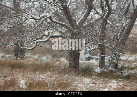 Snow covers tree branches in a field near Blubberhouses, Yorkshire, England - Stock Photo