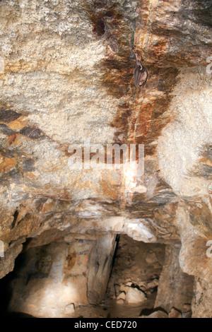 Greater Horseshoe Bat; Rhinolophus ferrumequinum; roosting; cave; Cornwall; UK - Stock Photo
