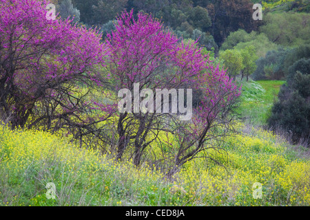 Israel, Upper Galilee, Metula, fruit trees by frontier with Lebanon, early spring - Stock Photo