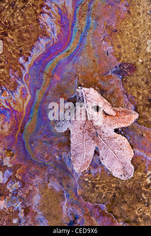 Frost covered Oak leaf in natural oil runoff from decaying plants  Eastern USA - Stock Photo