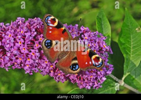 EUROPE, UK, Cheshire, peacock butterfly, Inachis Io - Stock Photo