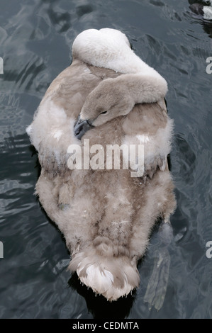Mute Swan (Cygnus olor) cygnet resting on the water, seen from above, Oxfordshire, UK - Stock Photo